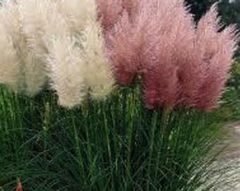 100 Mixed Ornamental White & Pink Pampas  (Cortaderia Selloana)  Grass Seeds