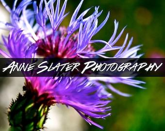 Purple Cornflower Photograph