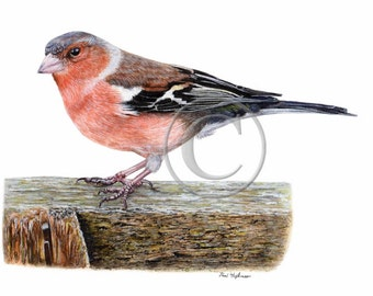 Bird Watercolor Print, CHAFFINCH Art Giclee Print, Watercolour, Realistic Paintings, Garden Birds, Wildlife, Countryside, A4 or A5 Size