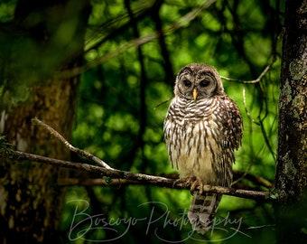 Barred Owl Photograph, Owl Print