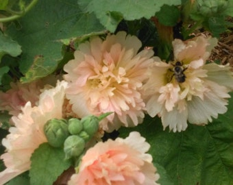 Dwarf Spring Celebrities MIX Hollyhock SEEDS