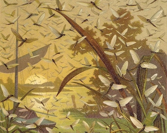 Mayfly Hatch - Ephemera print - 8 by 10 in for anglers, fishermen, fly fishing, trout fishing streams, 1880 nature print  framable