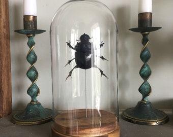 Large Scarab Beetle Taxidermy Display