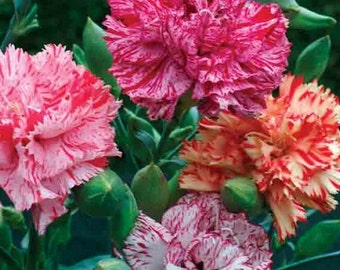 Chabaud Mix Carnation Flower Seeds / Dianthus / Perennial 50+