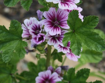 Zebra Mallo Seeds, Malva Zebrina Seeds, Hollyhock Seeds, Malva Sylvestris, French Hollyhocks, Easy to Grow Flowers, Annual Flowers