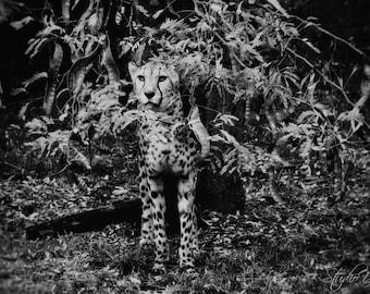Cheetah Art Print, Large Black and White Photography, Large Wall Art, Animal Fine Art, Animal Photography, Cheetah Wall Decor, Photo Print