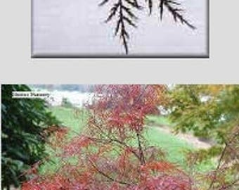 Red Filigree Lace grafted Japanese Maple