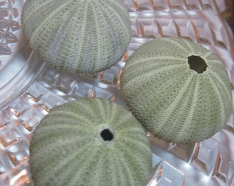 Green Sea Urchins  - Urchin - Ask for Int'l ship rates