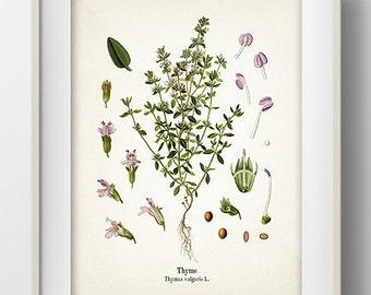 Vintage Thyme Print - KO-11 - Fine art print of a vintage natural history antique illustration