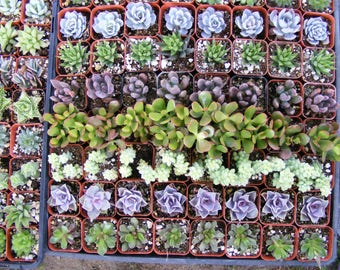 20 Assorted Succulent Plants 2 inch pot !! Great for wedding party favors