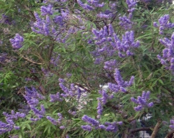 """2 Trees....Chaste Tree, LIVE PLANT, Vitex Agnus Casus, Lilac, Chasteberry,Potted Tree, 8""""+"""