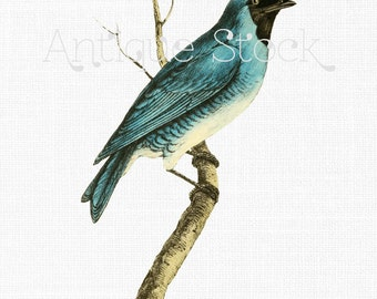Instant Download Bird Graphic - Swallow Fruit-eater Vintage Digital Image for Crafts, Wall Art, Collages, Transfers, Scrapbook, Invites...