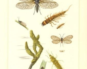 1956 Alderflies and Spongillaflies, Sialis fuliginosa, Sisyra fuscata Vintage Offset Lithograph