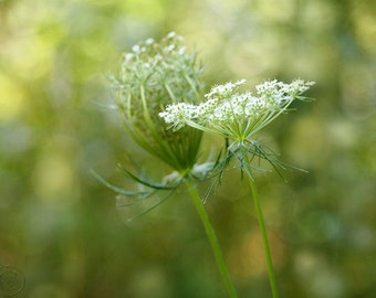 Woodland Flower Print, Queen Anne's Lace, Fine Art Photography, Botanical Print, Wildflower, White Flower, Floral Print