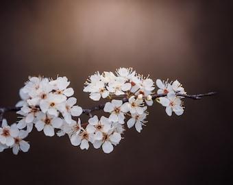 blooming white cherry flowering tree 8x10 nature photo