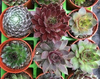12 Sempervivum Succulent Plants in 12 Varieties potted in 6cm pots Hens & Chicks