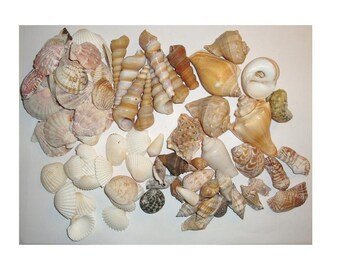 """Seashells, Sea shell lot, larger whole sea shells. 1 lb . Range in length from 1"""" to 2 3/4"""". For craft projects or a terrarium Lot B"""