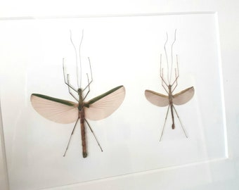 Real stickinsects male and female in frame curiosity insect taxidermy
