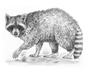 "Raccoon Illustration 4""x6"" Print"