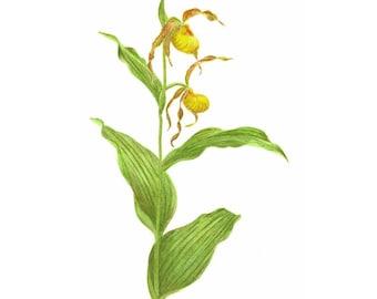 Yellow Lady's Slipper - Print