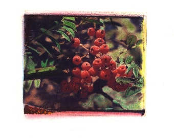 Mary's Berries -  Archival Print of an Original Polaroid Transfer, Signed Limited Edition 8x10 Matted