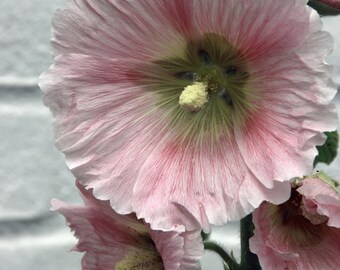 Alcea rosea (Pink Hollyhock) 25 Seeds D1ar