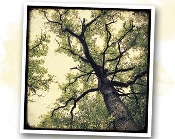 Chêne en contre-plongée - Brocéliande - photo art signed 20x20cm