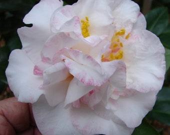 Camellia japonica 'Betty Sheffield'