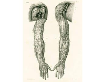1836 Anatomy Arms Hands, Muscles Veins Arteries XL Print, Human Body Poster Bourgery Medicine Wall Art