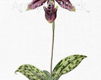 Orchid Flower Clipart 'Paphiopedilum Purpuratum' Vintage Botanical Illustration for Iron on Transfer, Digital Scrapbook, Cards, Invites...