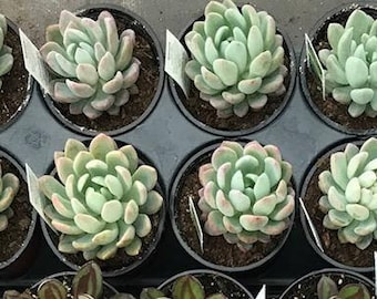 Echeveria elegens 'Gray-Red'