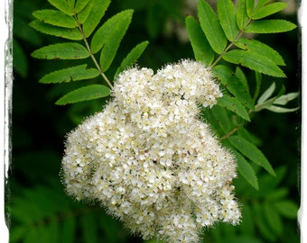 Sorbus aucuparia 'Rowan / Mountain Ash' [Prov. UK] 100+ SEEDS