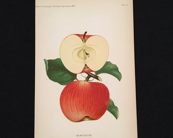 Windsor Apple - 1889 Print, Original Antique Print, Vintage Kitchen Decor