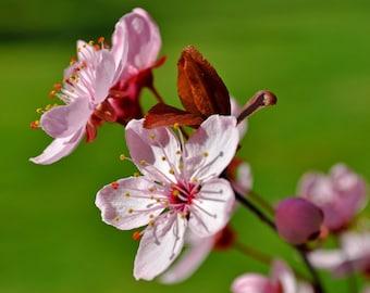 Cherry Blossom Macro Photograph 8x10