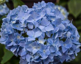 Blue Hydrangea Blossom photography - digital download