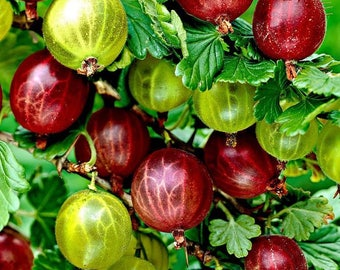 Gooseberry, bush, cutting, rooted plant