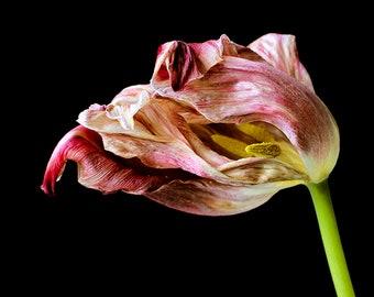 Tulip Photography, Dramatic Floral Wall Art, Pink Black Flower Print, Modern Minimalist Decor