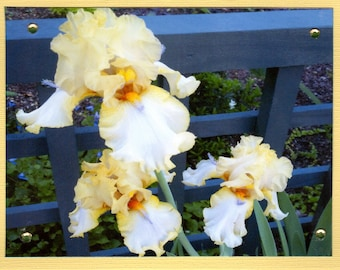 Yellow and White Iris Photo Notecard, Springtime Floral Card, Blank Photo Notecard, Inspirational Notecard, Bridesmaid Gift, Teacher's Gift