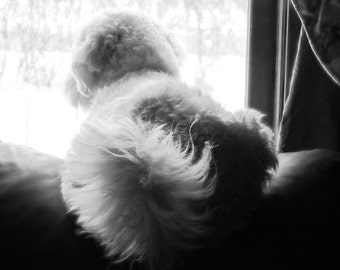 Henry in Window - notecard - Holiday, Thinking of You, or Sympathy (Person or Pet loss)