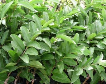 40 GUAVA Leaves Organically Grown FRESHLY PICKED to Order