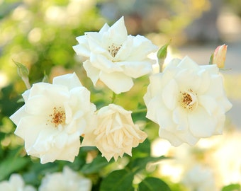 Flower Photography - Fine Art Photo Print of White Roses - Botanical Wall Art - Floral Decor - Size 8x10, 5x7, or 4x6