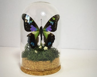 The Purple Spotted Swallowtail Curio Dome