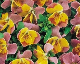 35+ Bi-Color Miniola Pink Heart Viola / Shade -Loving Perennial Flower Seeds