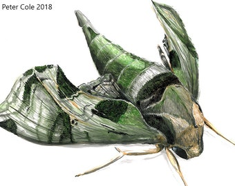 Pandora Sphinx Moth - Insect Print