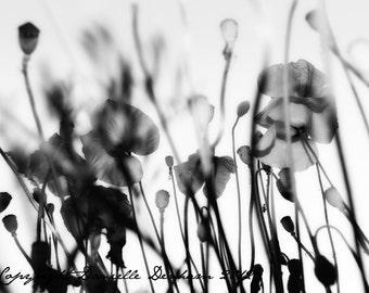 Black and White Photo Dreamy Modern Wildflower Silhouette--Fine Art Photography 8x10