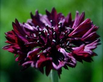 Heirloom 200 Seeds Cornflower mixed flower plant seeds bulk B0029