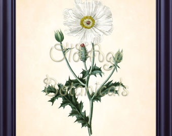 Curtis Botanical Magazine Texas WHITE PRICKLY POPPY Botanical 8x10 Art Print Vintage Plate Antique Ornamental Plant Wall Home Decor BF1407