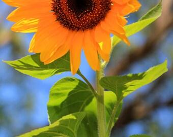 Sunflower Sighting - Flower Garden Photo Print - Size 8x10, 5x7, or 4x6