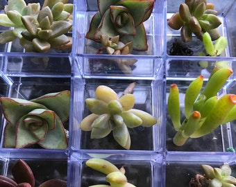 Tiny little succulent collection of 12 grown to be small perfect for fairy gardens