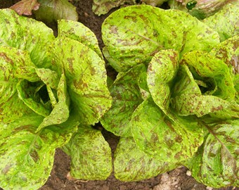 Forellenschluss Speckled Trout Back Heirloom Lettuce Seeds Austrian Non-GMO Naturally Grown Open Pollinated Gardening